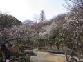 百草園梅E-520_2