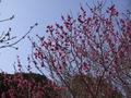 百草園梅E-520_6