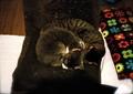 necobitter『日めくり猫ら』まとめ 2011年5月分klasses_5