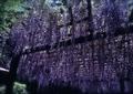 FUJIFILM KLASSE S『5月のきらきら百草園 その1』4