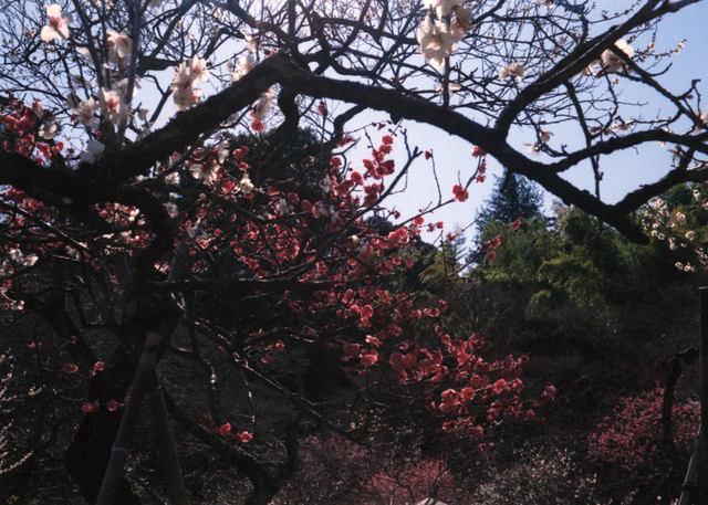 babysem『むちむちぴかぴか梅祭り 1』-3