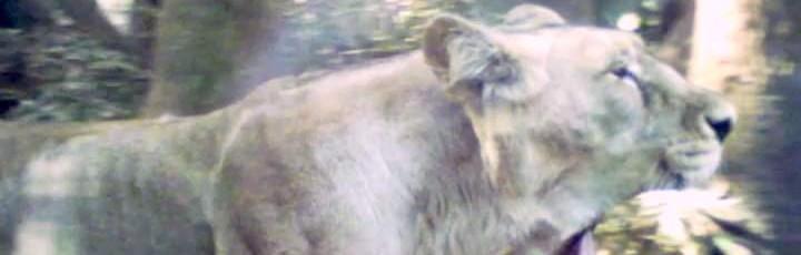 うろうろするゴリラ・ライオン・アリクイ・ゾウ・オカピ(上野動物園 其の7)