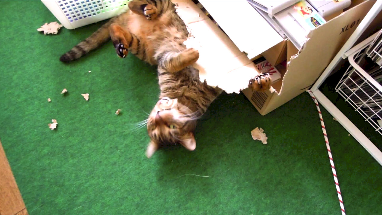cat_playing_cardboard_box.jpg