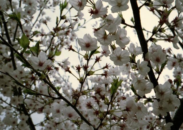 klasse_s_ueno_sakura_2012-2-4.jpg