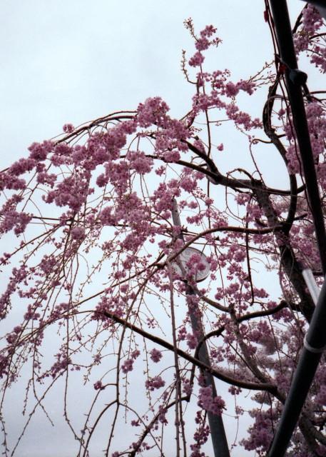 klasse_s_ueno_sakura_2012-2-8.jpg