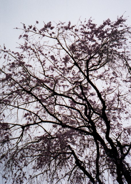 klasse_s_ueno_sakura_2012-3.jpg