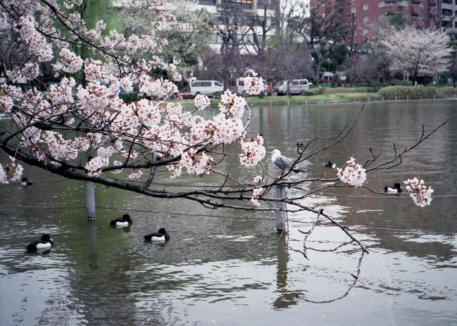 klasse_s_ueno_sakura_2012-4-2.jpg