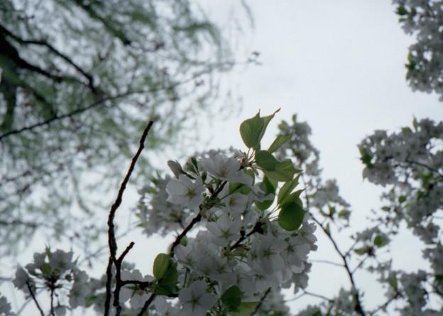 桜の花見ながら不忍池をぐるりと 4(KLASSE S)