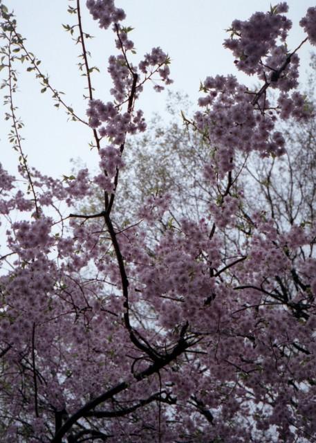 klasse_s_ueno_sakura_2012-4-5.jpg