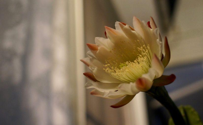 背の高いサボテンの花が咲いたのと近頃のねこら
